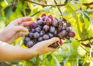 sonnik vinograd 2