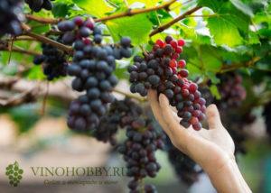 sonnik vinograd 4
