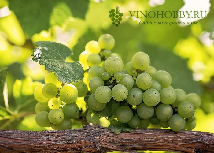 sonnik vinograd 5