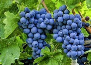 sonnik vinograd 7