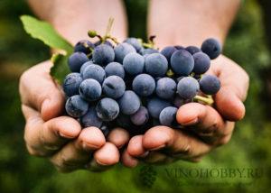 sonnik vinograd 8