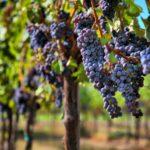 Правила выращивания винограда – выбор сорта, места, избавление от вредителей. Сорта, подходящие под разные регионы.
