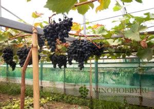 vinograd 9