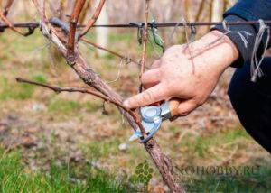 vinograd-obrabotka 4
