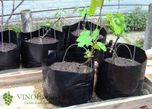 vinograd posadka 11