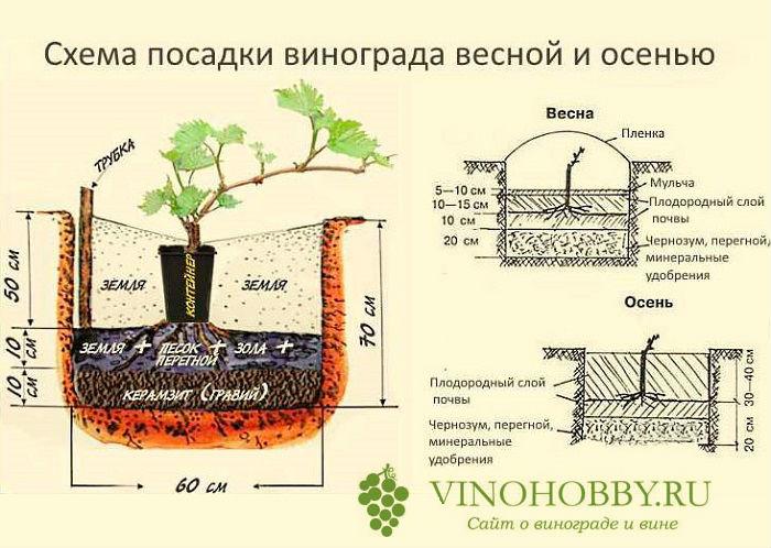vinograd posadka 13