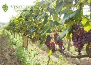 vinograd posadka 14