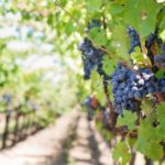 Как правильно сажать виноград: советы и практические рекомендации