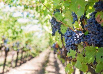 vinograd posadka 2