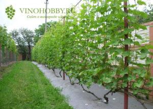vinograd posadka 3
