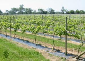 vinograd posadka 8
