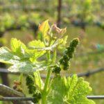 Чем подкормить виноград в июне