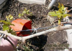 podkormka-vinograda 4