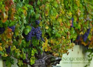 podkormka-vinograda 6