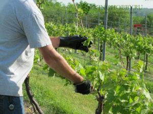 podkormka-vinograda 9