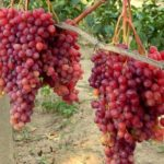 Сорт винограда Велес