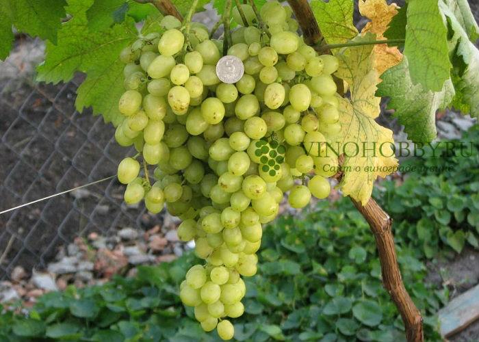 vinograd-aleshenkin 2