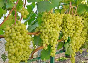 vinograd-aleshenkin 3
