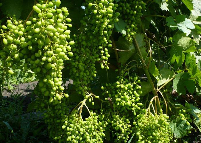 vinograd-aleshenkin 6