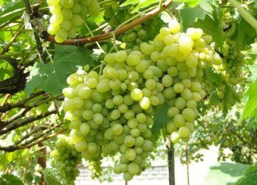 vinograd-avgustin 1