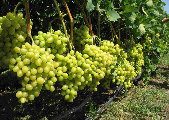 vinograd-avgustin 2