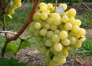 vinograd-avgustin 4