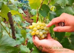 vinograd-avgustin 5