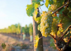 vinograd-avgustin 6