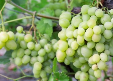 vinograd-kesha 1