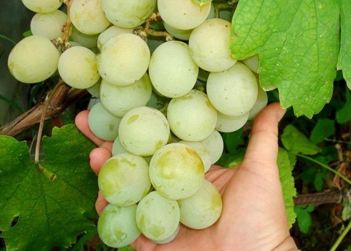 vinograd-kesha 2