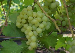 vinograd-kesha 3