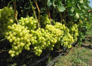 vinograd-kesha 5