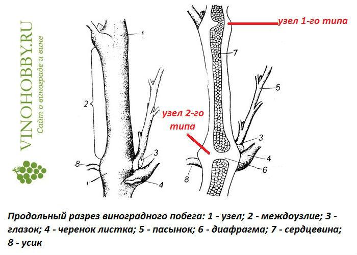 vyrashhivanie-iz-cherenkov 3