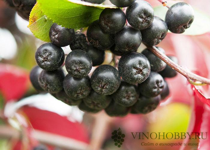 vino-iz-ryabiny 16