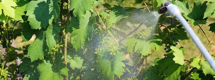 obrabotka-vinograda-mednym-kuporosom