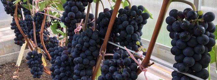 vinograd-v-podmoskove
