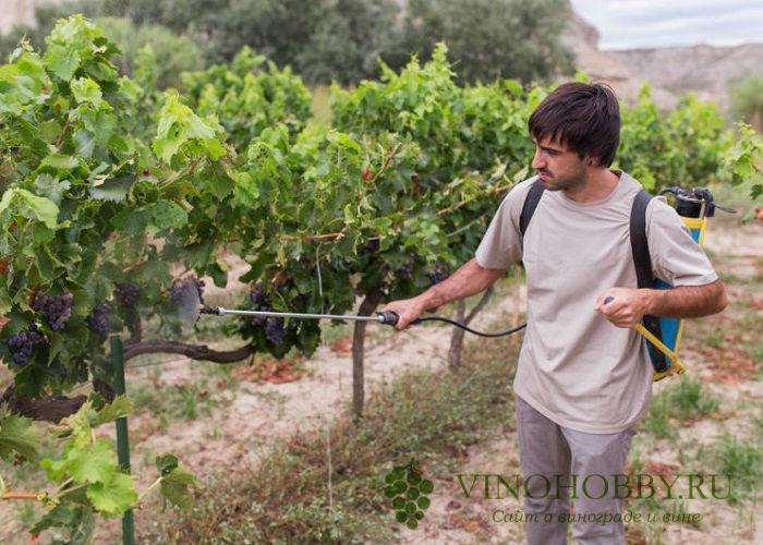 obrabotka-vinograda-mednym-kuporosom 14