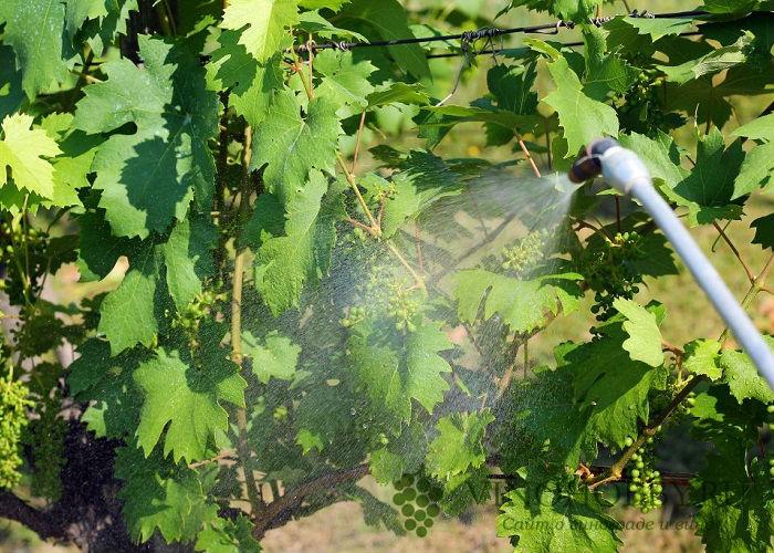 obrabotka-vinograda-mednym-kuporosom 7