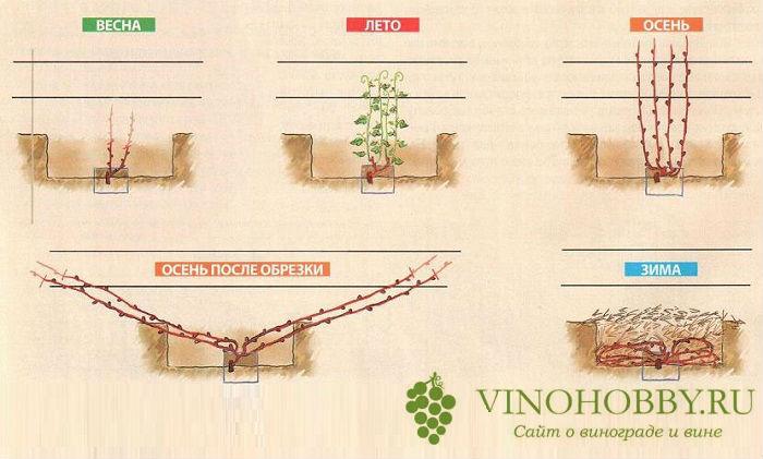 vinograd-na-zimu 2