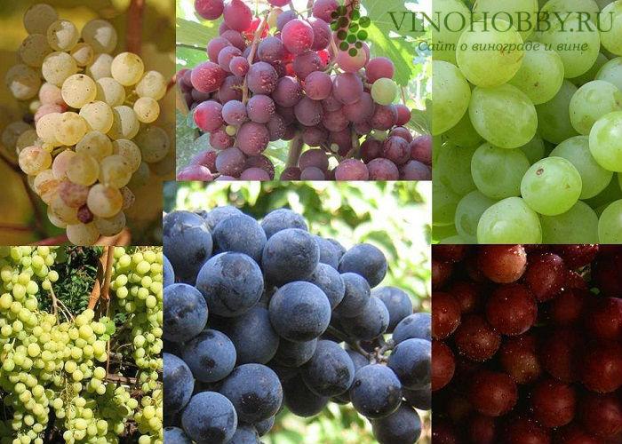 vinograd-na-zimu 4