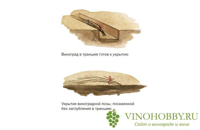 vinograd-na-zimu 5