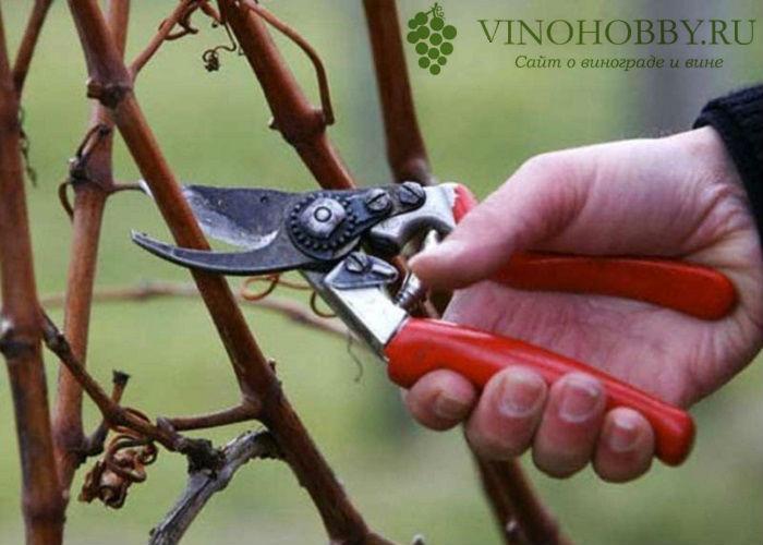 vinograd-v-podmoskove 11