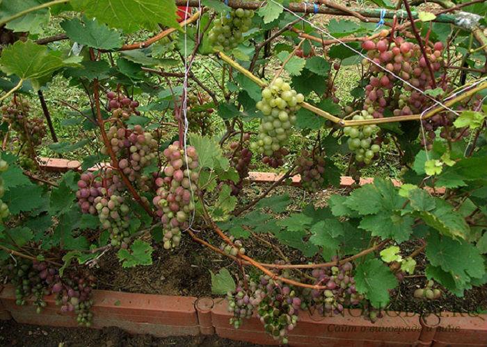 vinograd-v-podmoskove 12
