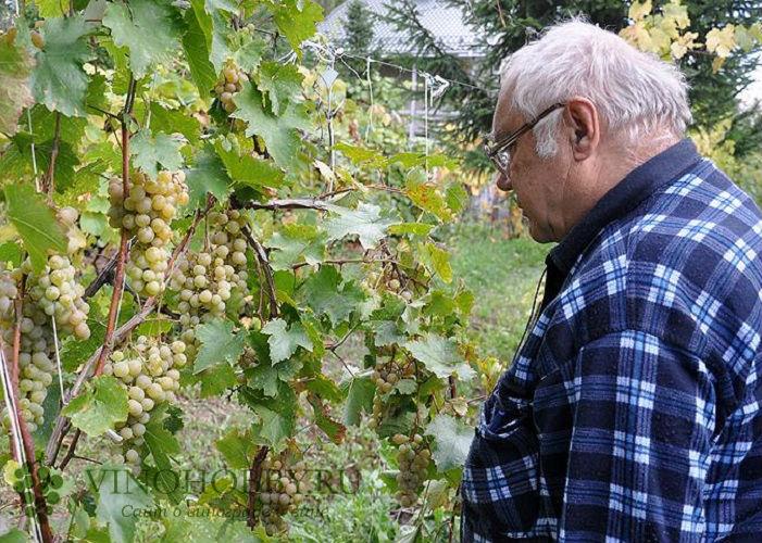 vinograd-v-podmoskove 13