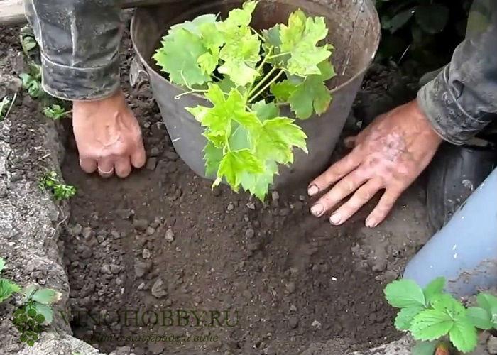 vinograd-v-podmoskove 14