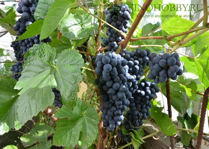 vinograd-v-podmoskove 2