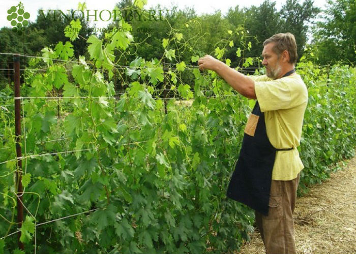 vinograd-v-podmoskove 3