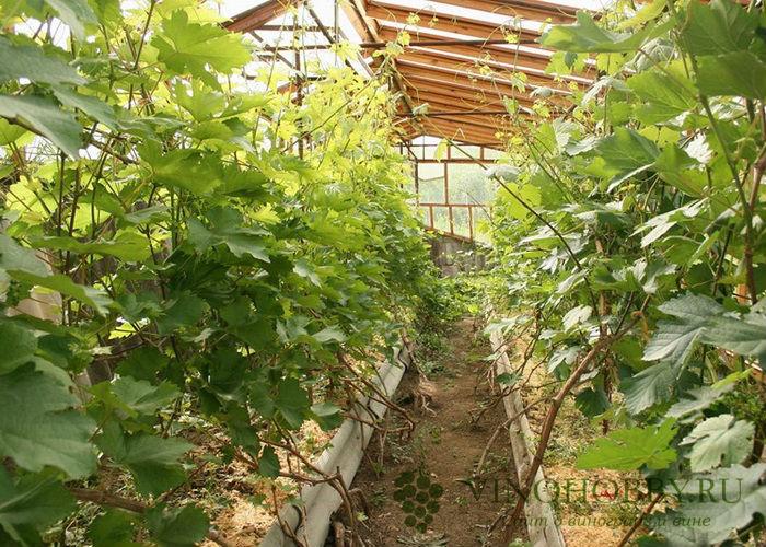 vinograd-v-podmoskove 4