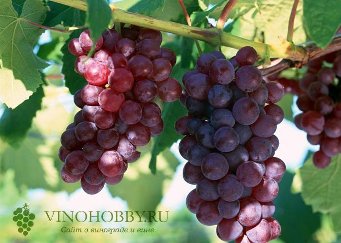 vinograd-v-podmoskove 5