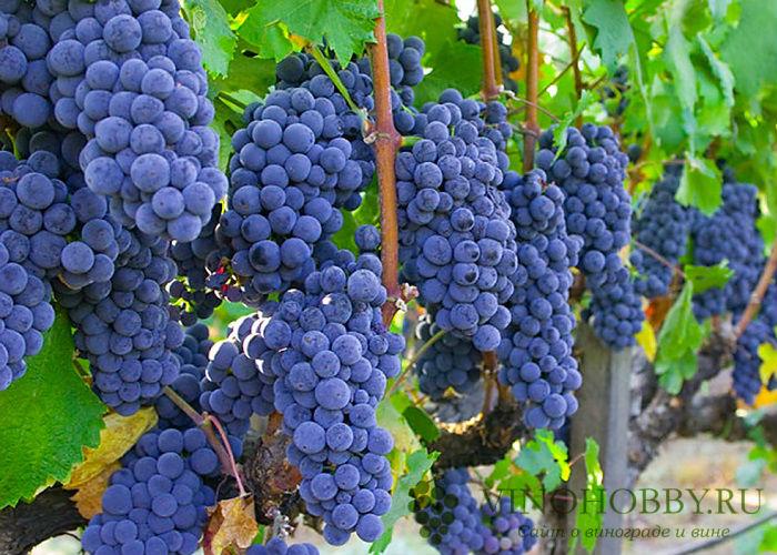 vinograd-v-podmoskove 6